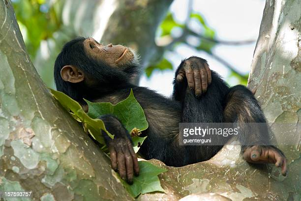 young chimpanzee relaxing in a tree, wildlife shot, gombe/tanzania - primate stock pictures, royalty-free photos & images