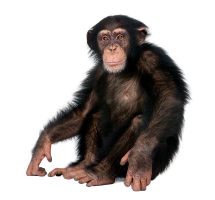 Young Chimpanzee - Simia troglodytes (5 years old) 118320412