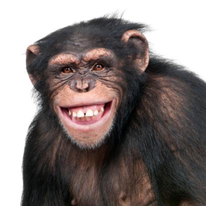 Young Chimpanzee - Simia troglodytes (6 years old) 92202969
