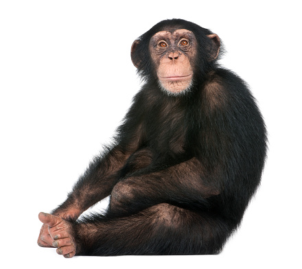 Young Chimpanzee sitting - Simia troglodytes (5 years old) in front of a white background 944271704