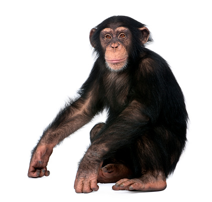 Young Chimpanzee sitting - Simia troglodytes (5 years old) in front of a white background 944271706