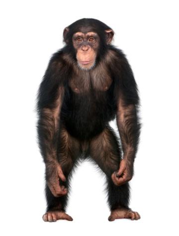 Young Chimpanzee standing up like a human 93217595