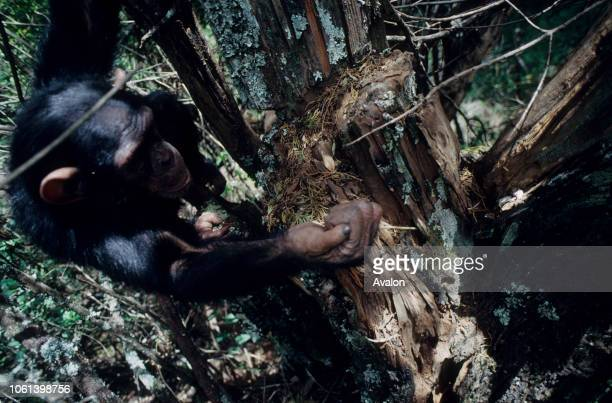 Young chimpanzee termite fishing in tree trunk at sanctuary Kenya Date 250608
