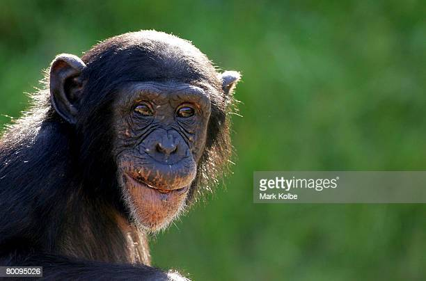 A young chimpanzee watches the media covering the welcome of a new female baby chimpanzee to Sydney's Taronga Zoo on March 4 2008 in Sydney Australia...