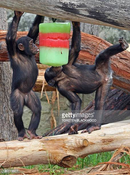 Young chimpanzees enjoy a frozen Christmas coloured iceblock during festivities at Taronga Zoo in Sydney 20 December 2007 Taronga and Western Plains...