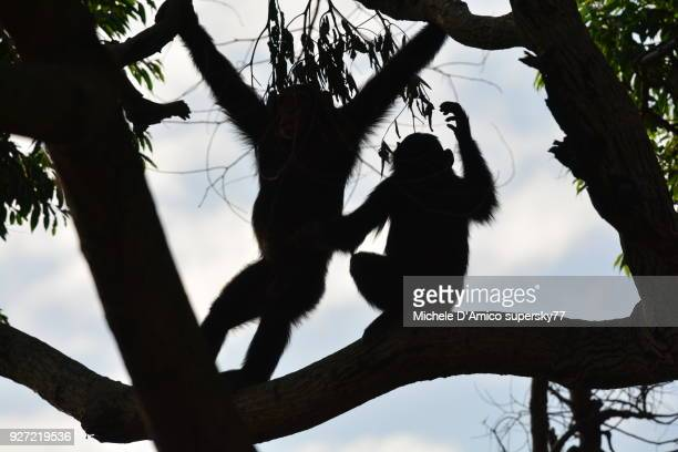 Young chimpanzees silhouettes on an old tree