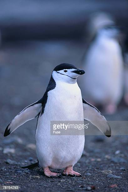 Young Chinstrap Penguin