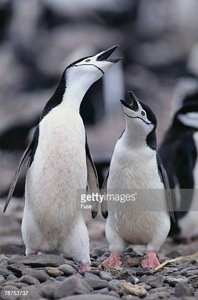 Young Chinstrap Penguins