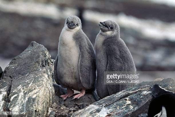 Young Chinstrap Penguins , Spheniscidae, Half Moon Island, Antarctica.