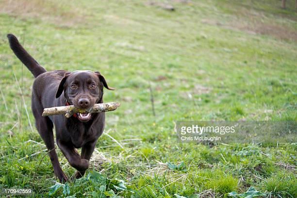 Young Chocolate Labrador