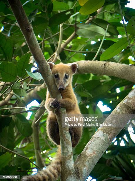 young coati pantanal - coati stock pictures, royalty-free photos & images