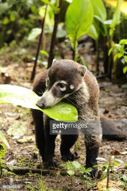 young coati - coati stock pictures, royalty-free photos & images