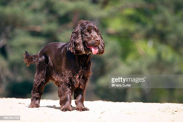 a young cocker spaniel! - cocker spaniel stock photos and pictures
