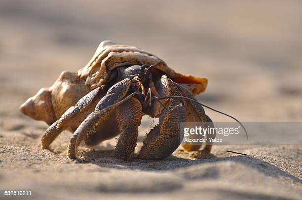 young coconut crab - coconut crab stock pictures, royalty-free photos & images