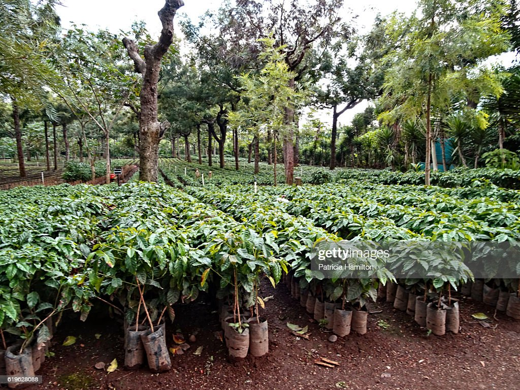 Young coffee plants : Stock Photo