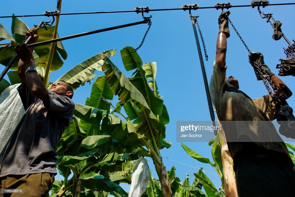 Banana industry in the Caribbean : News Photo