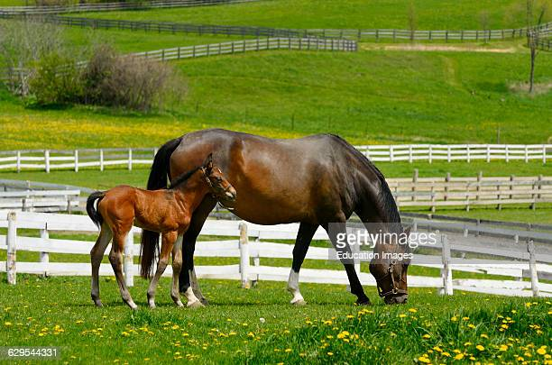 Young colt staying close to mother grazing fresh grass in a paddock in Spring
