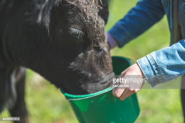 Young Columbian man feeds his cow in the pasture on a warm summer day