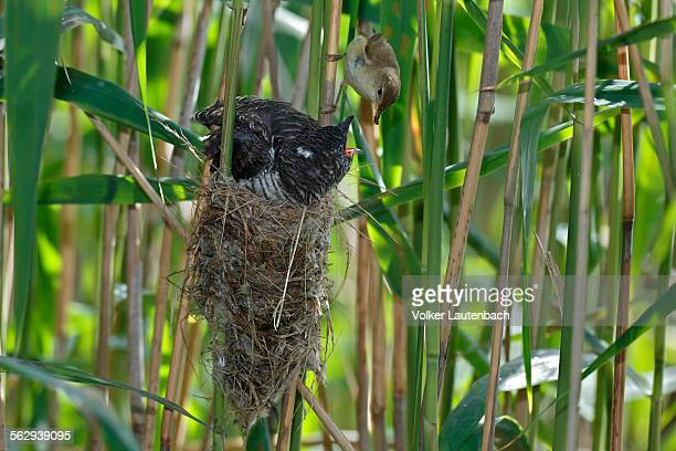 A young Common Cuckoo -Cuculus canorus- is fed by its host, a Eurasian Reed Warbler -Acrocephalus scirpaceus-, Saxony-Anhalt, Germany