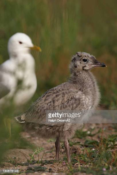 young common gull (larus canus), bremen, germany, europe - vista lateral stock pictures, royalty-free photos & images