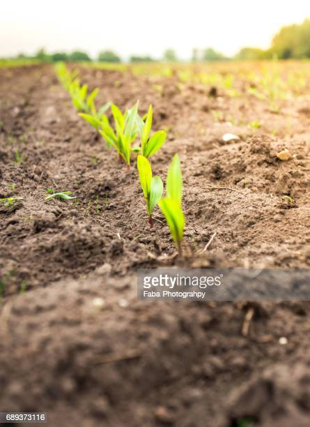 Young Corn Maize Growing In Rows