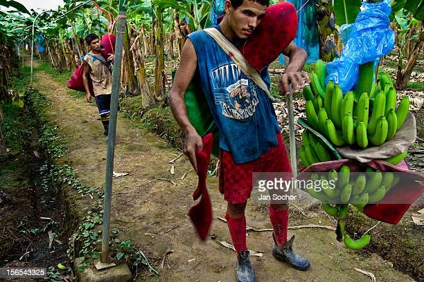 A young Costa Rican worker hangs a bunch of bananas up the aircable at a banana plantation on September 01 2004 near Puerto Limon Costa Rica Eighty...