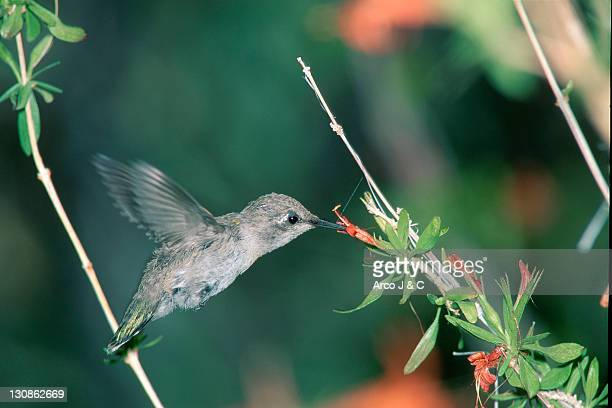 Young Costa's Hummingbird, Sonora desert, Arizona, USA / (Calypte costae)