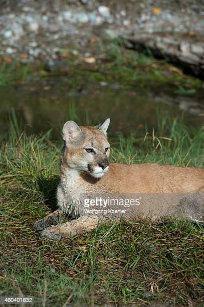 Young cougar laying in grass Montana United States