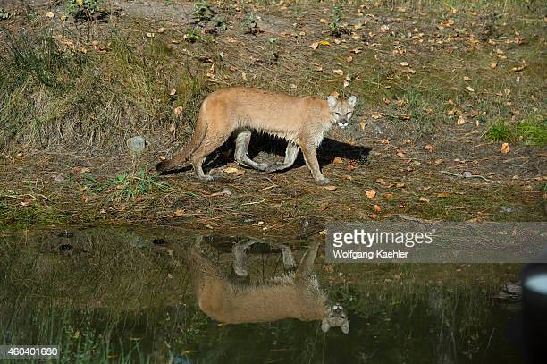 Young cougar walking along a pond reflecting in the water Montana United States