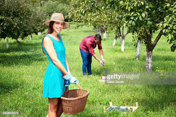 Young couple harvesting plums in orchard