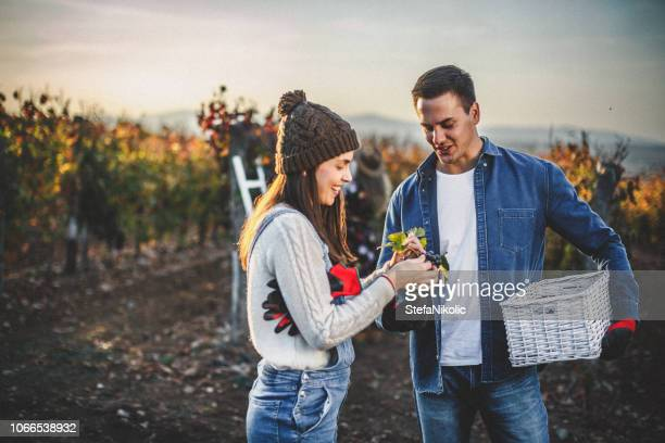 young couple having fun in vineyard - grape harvest stock pictures, royalty-free photos & images