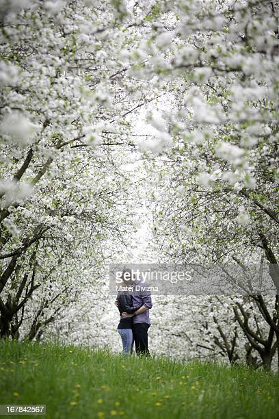 Young couple kisses under a cherry blossom tree as part of Czech May Day tradition on the Petrin Hill on May 1, 2013 in Prague, Czech Republic. In...
