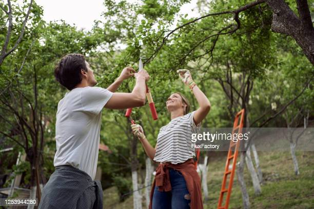 果樹園の木の枝を短くする若いカップル - 果樹 ストックフォトと画像