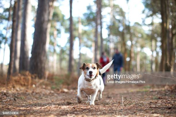 a young couple walk their dogs in the woods - canine stock pictures, royalty-free photos & images