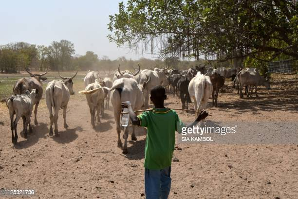 A young cow herder guides cattle in a transhumance corridor near the Danoa dam in northeastern Ivory Coast on January 21 2019 Nearly three years ago...