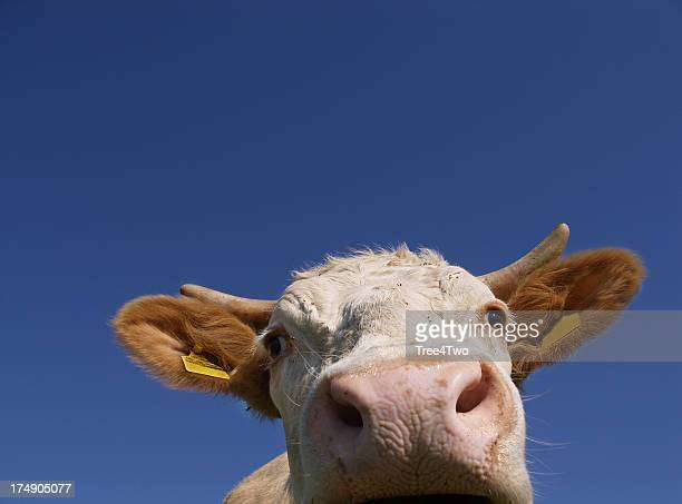 Young cow looks into the camera