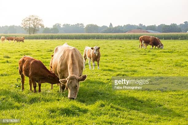 young cow - grazing stock pictures, royalty-free photos & images