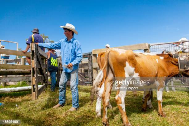 Young cowboy checks up on the Far North Rodeo target cows, surrounded by a fence. At Kaitaia, Northland.