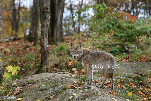 young coyote in trees against fall background - coyote stock pictures, royalty-free photos & images