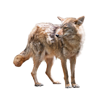 Young coyote on white background 1153968154