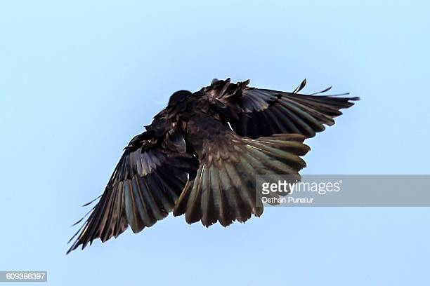 Young crow flying