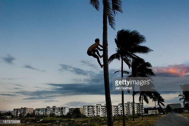 A young Cuban boy climbs a palm tree in front of the large concrete apartment blocks in Alamar a huge public housing complex in the Eastern Havana...