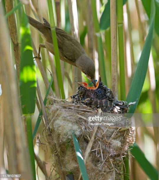 Young Cuckoo Canorus cuculus in Reed Warblers nest in reedbed Norfolk UK