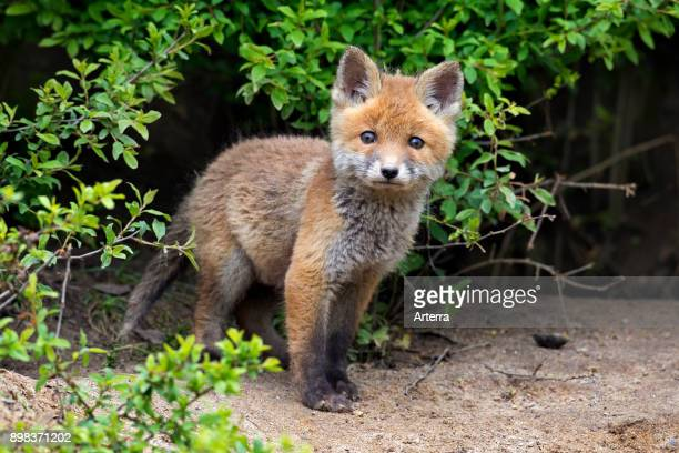 Young cute red fox single kit emerging from thicket in spring