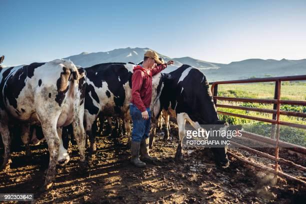 junge milchbauer - mann beim melken stock-fotos und bilder