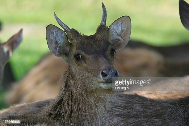 Young deer cross the 16th fairway during the second round of the MCB Tour Championship played at the Legends Course, Constance Belle Mare Plage on...