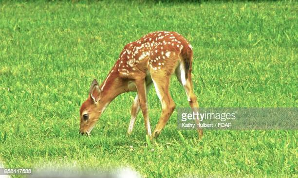 young deer eating grass - cerbiatto foto e immagini stock