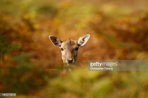Young deer hides amongst the autumnal bracken at the National Trust's Dunham Massey park on October 17, 2012 in Knutsford, England. As summer draws...