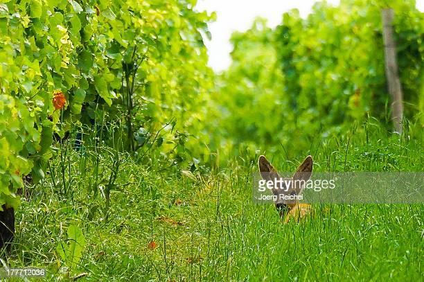 Young deer in the vineyard