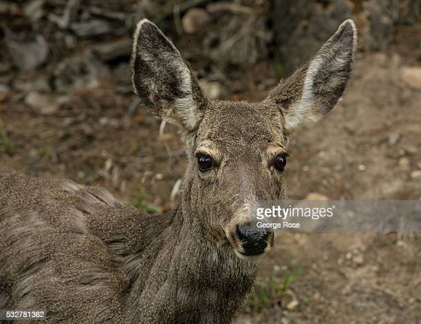 A young deer is viewed walking along the Bow River Parkway on April 23 2016 in Banff Springs Alberta Canada Banff is Canada's oldest National Park...